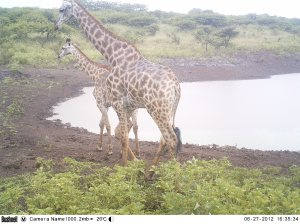 Giraffe on the camera trap.