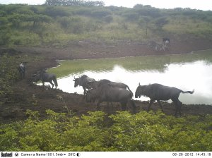 Blue wildebeest at the dame - caught on our motion sensor camera