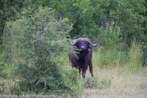 Lone buffalo male.