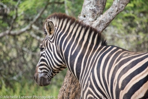 A Burchell Zebra - they have a brown stripe in between the white and black stripes.