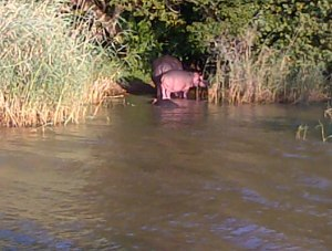 The hippos heading off to town for the evening.